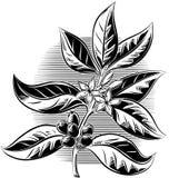 咖啡植物的分支 免版税库存照片