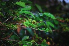 咖啡植物2 免版税库存图片