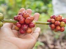 咖啡樱桃 库存照片