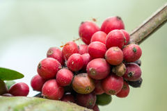 咖啡樱桃 库存图片