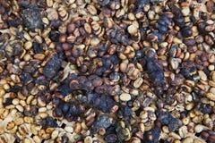 咖啡消耗大的kopi luwak多数s世界 库存图片