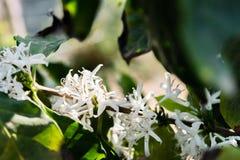 咖啡灌木,咖啡属阿拉伯咖啡开花  免版税库存照片
