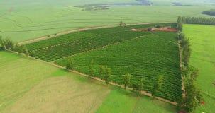 咖啡的种植园和农场在南美,巴西 影视素材