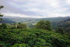 咖啡种植园在卡尔穆de米纳斯巴西农村镇  免版税库存照片