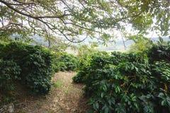 咖啡种植园在卡尔穆de米纳斯巴西农村镇  库存图片