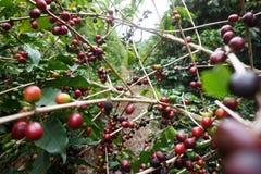 咖啡种植园在卡尔穆de米纳斯巴西农村镇  免版税库存图片