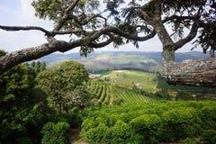 咖啡种植园在卡尔穆de米纳斯巴西农村镇  库存照片