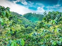 咖啡种植园在Jerico哥伦比亚 免版税库存照片