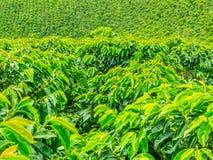 咖啡种植园在Jerico,哥伦比亚 免版税库存照片