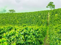 咖啡种植园在Jerico,哥伦比亚 库存图片