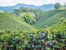 咖啡种植园在Jerico,哥伦比亚 库存照片