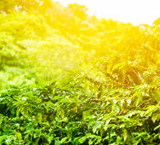 咖啡种植园晴朗的背景 免版税库存图片