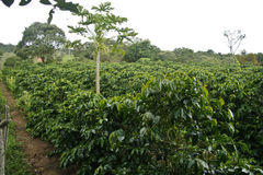 咖啡种植园 免版税图库摄影