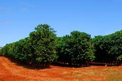 咖啡种植园 免版税库存图片