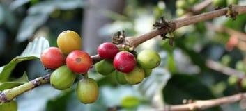 咖啡结构树。 危地马拉 库存图片