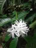 咖啡花和未加工的种子Buncg  免版税库存图片