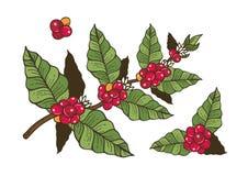咖啡花和莓果 免版税图库摄影