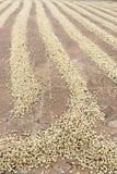 咖啡豆干燥 库存图片