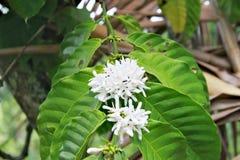 咖啡豆白色开花的花  免版税库存图片