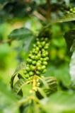 咖啡阿拉伯咖啡植物 库存照片