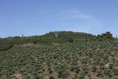 咖啡风景,哥伦比亚。 免版税图库摄影