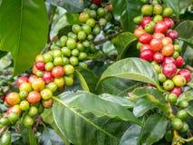 咖啡Plant.Boquete.Chiriqui省,巴拿马,中美洲 免版税库存图片