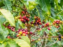 咖啡Plant.Boquete.Chiriqui省,巴拿马,中美洲 库存照片