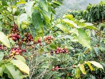 咖啡Plant.Boquete.Chiriqui省,巴拿马,中美洲 免版税库存照片