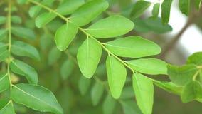 咖喱离开树植物 股票录像