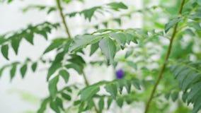 咖喱离开树植物 股票视频