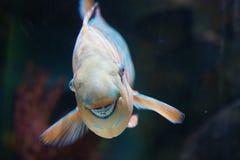 咧嘴笑的鹦鹉鱼 库存图片