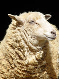咧嘴绵羊 库存照片