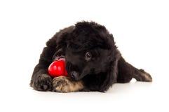 咬住一个红色玩具的黑拉布拉多小狗 免版税库存图片
