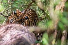 咬住入牺牲者的孟加拉老虎 免版税库存照片