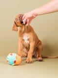 咬住在人的手上的逗人喜爱的小的小狗 免版税库存图片