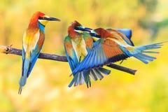 咬住在分支的三只异乎寻常的色的鸟 免版税库存图片
