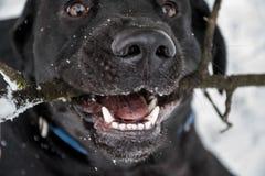 咬住在棍子的黑拉布拉多猎犬 免版税库存图片