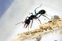 咬住我的英寸蚂蚁 免版税库存图片