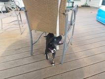 咬住织品的片断在椅子的黑白小狗 图库摄影
