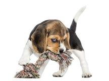 咬住绳索玩具的小猎犬小狗的正面图,被隔绝 免版税库存照片