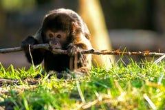 咬在棍子的金黄鼓起的连斗帽女大衣猴子 免版税库存照片