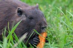 咬在红萝卜的婴孩沼泽nutria海狸 免版税图库摄影
