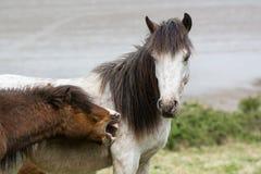 咬灰色公马的布朗Dartmoor小马 免版税库存图片