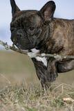 咬牛头犬的法语 免版税库存照片