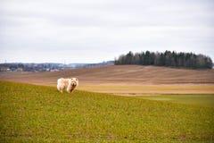 咸菜狗在春天领域走 图库摄影