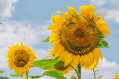 哀伤和快乐的向日葵 免版税图库摄影