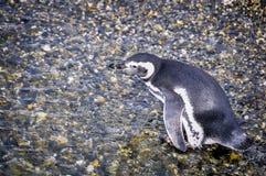 哀伤的企鹅,小猎犬海峡,乌斯怀亚,阿根廷 免版税库存图片