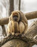 哀伤的吼猴 图库摄影