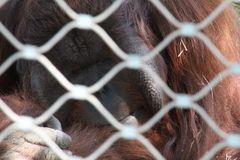 哀伤的大猩猩 库存图片