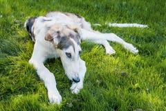 哀伤的大白色草坪的狗俄国灵狮病残街道的 可能的壁虱叮咬 库存图片